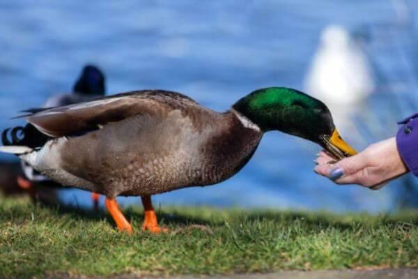 alimentación de los patos