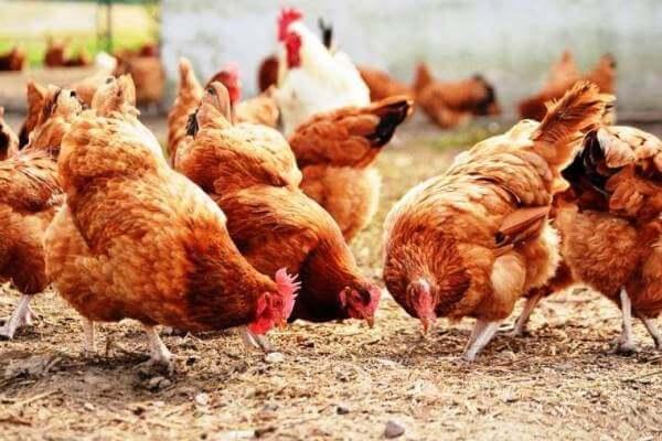 alimentación de los pollos