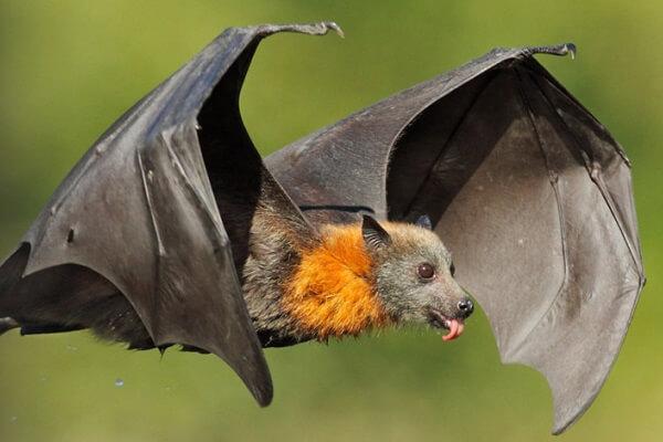 qué es un murciélago
