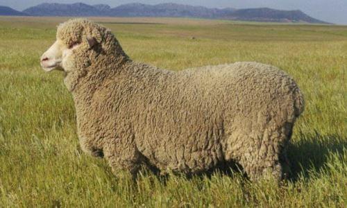 qué es una oveja