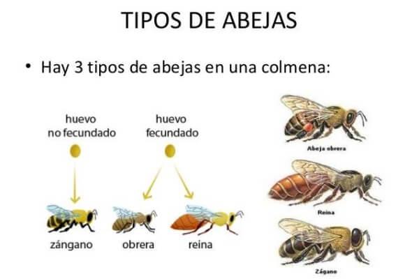 clases de abejas