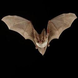 vuelo murciélago