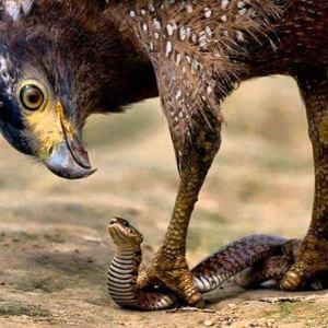 las águilas comen serientes