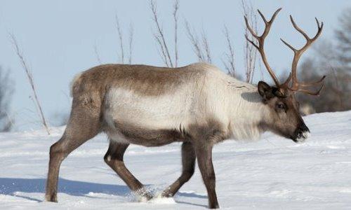 como es la migración del reno