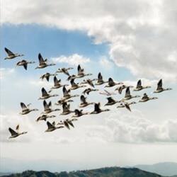 Cómo es el recorrido de las aves migratorias