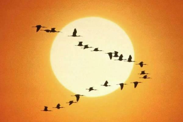 Cómo es la migración de las aves