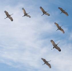 Cuánta distancia recorren las aves migratorias