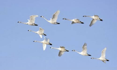 Las aves migratorias