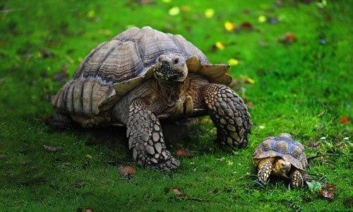 que comen las tortugas terrestres mediterranea