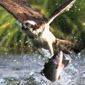 que comen las aguilas pescadoras