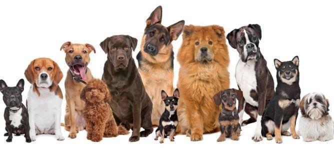 razas-de-perros-creadas-por-el-hombre