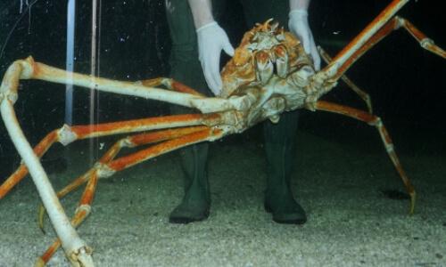 cangrejo mas grande del mundo
