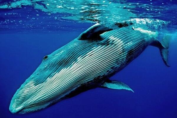 cuanto mide la ballena azul