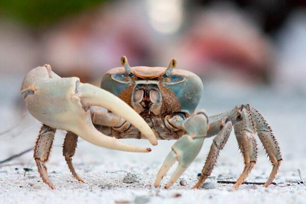 anatomía del cangrejo
