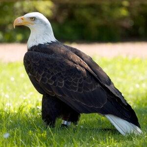 características águila calva