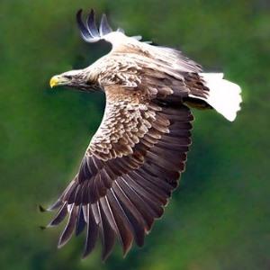 qué come un águila de cola blanca