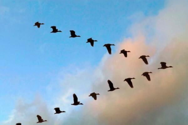 cuales son las aves migratorias