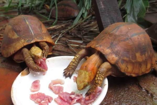 qué comen las tortugas pequeñas