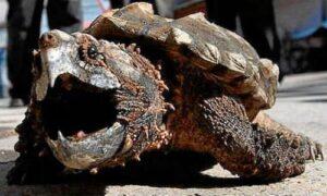 que come la tortuga salvaje