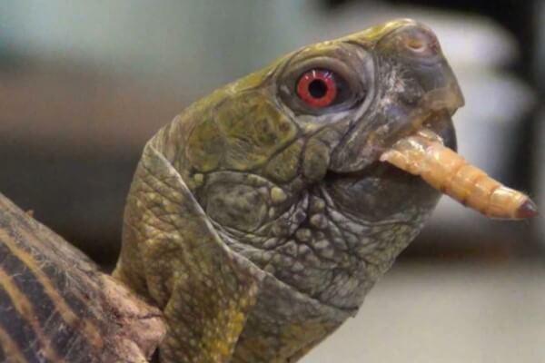 qué comen las tortugas galápagos