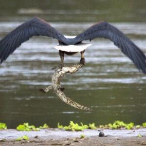 qué comen las águilas harpías