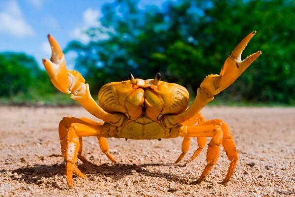 Cómo es el cangrejo
