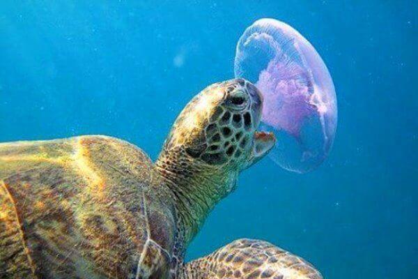 que come una tortuga de agua dulce