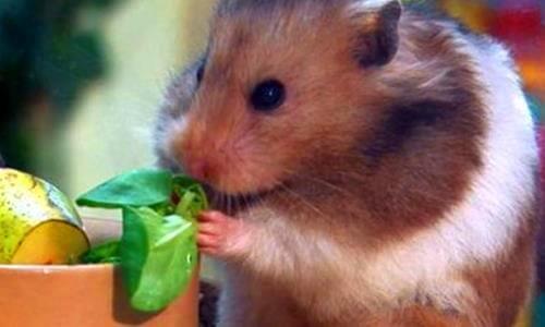 qué necesita comer un hámster