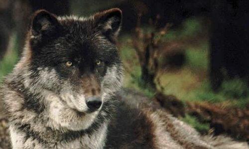 lobo características