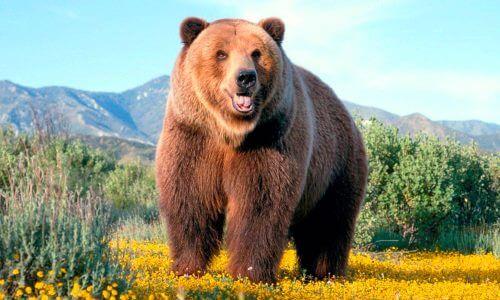 características físicas del oso