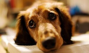 Los perros lloran para manipularte