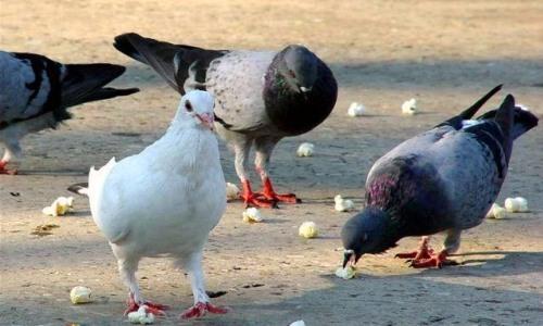 de qué se alimenta la paloma