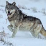 que es el lobo características y comportamiento