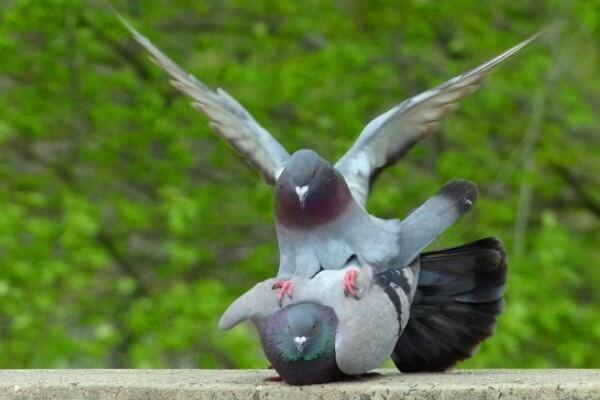 cómo se reproducen las palomas