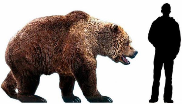 cuánto mide un oso y cuánto pesa
