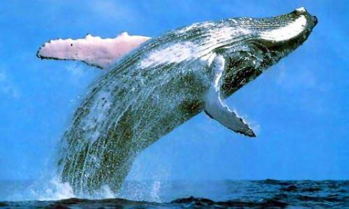 ballena características