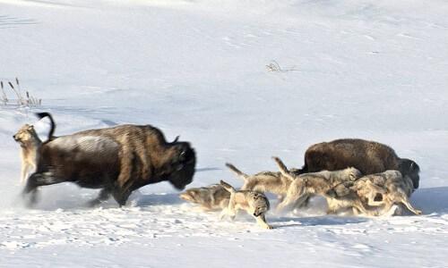 técnicas de caza de los lobos