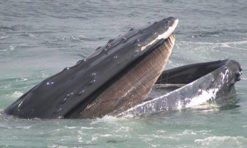 de qué se alimentan las ballenas