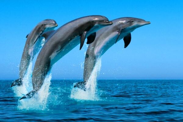 Comportamiento y caraterísiticas del delfín