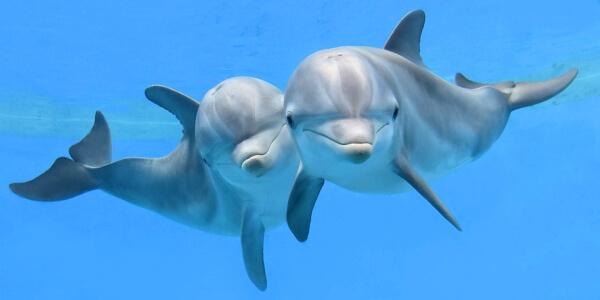 ¿Cómo viajan los delfines?
