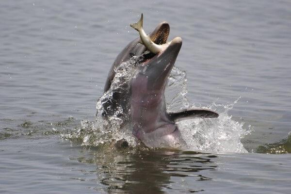 dieta del delfín