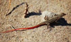 acanthodactylus-erythrurus