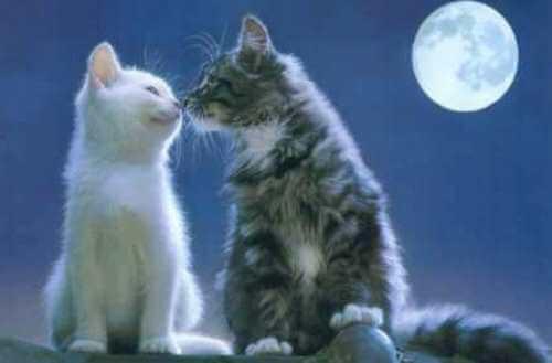 Diferencias fisionomía gatos machos y hembras