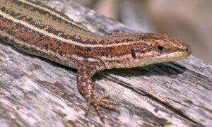 pordacis-hispanicus