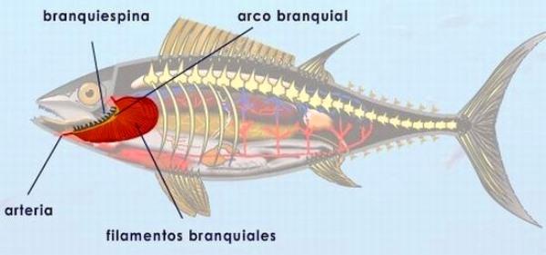 Qué son las branquias