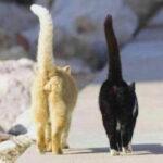 Los genitales de los gatos hembra y macho son diferentes