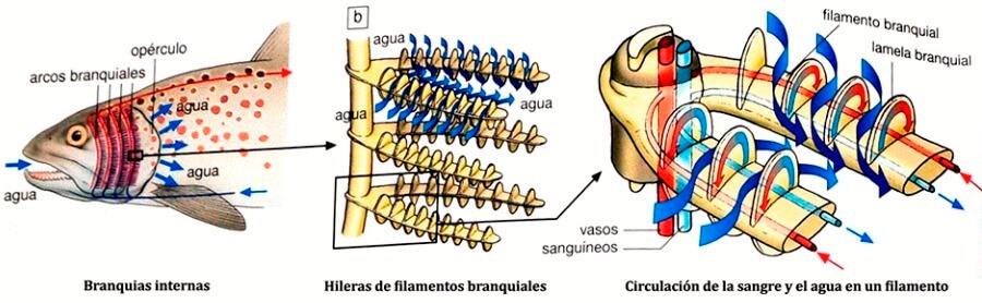 partes de las branquias