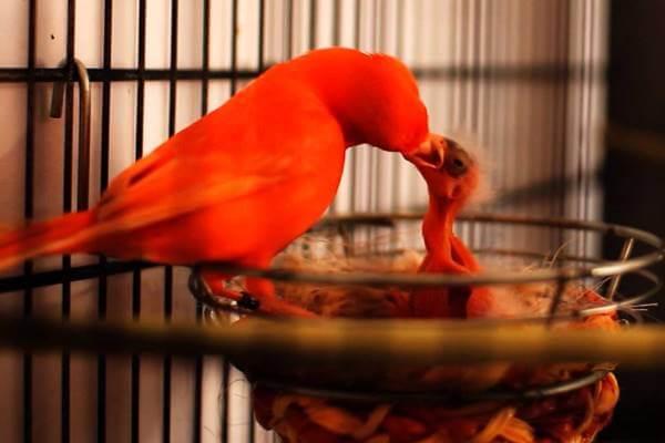 cómo alimentar polluelo de canario