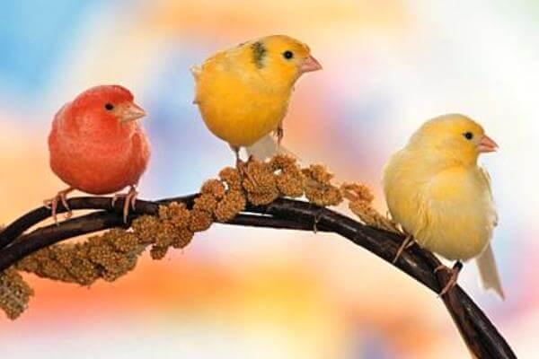 qué es el canario