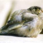 enfermedades de los canarios